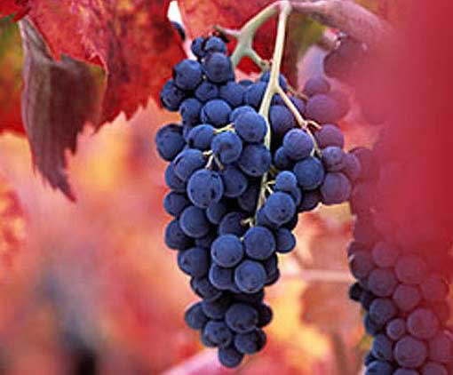 Bunch of Barbera grapes